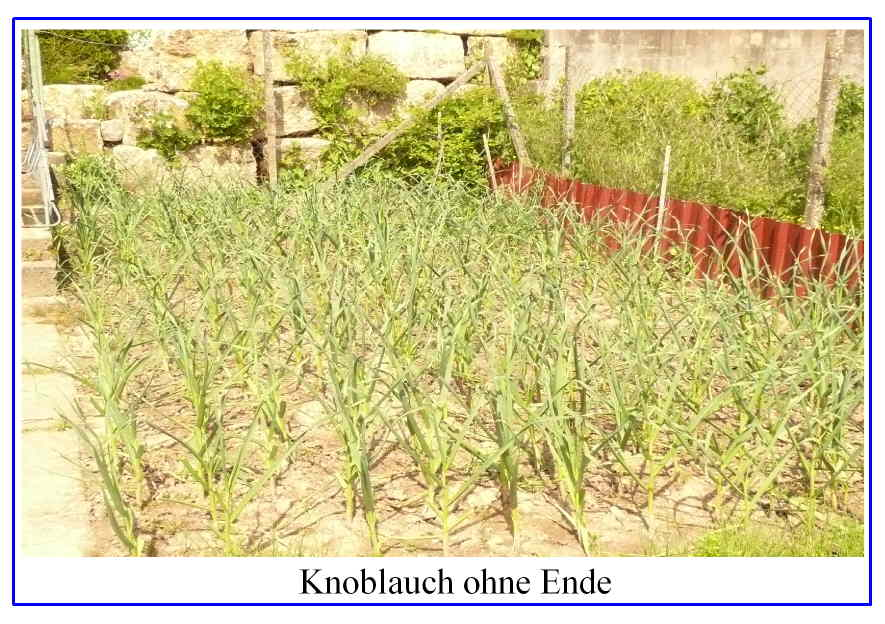 knoblauch ohne ende